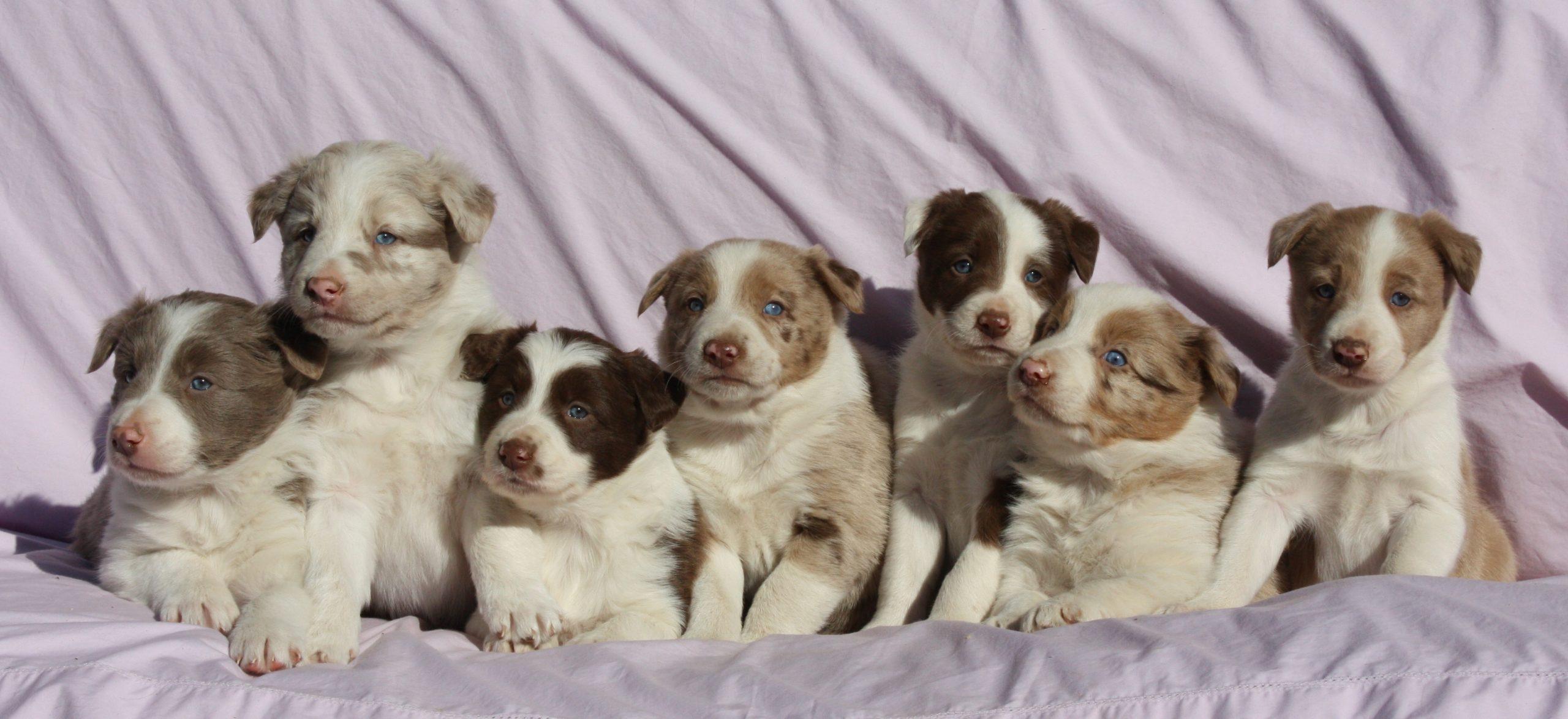 Abca Red Border Collie Puppies In Alabama C Bar C Ranch Alabama